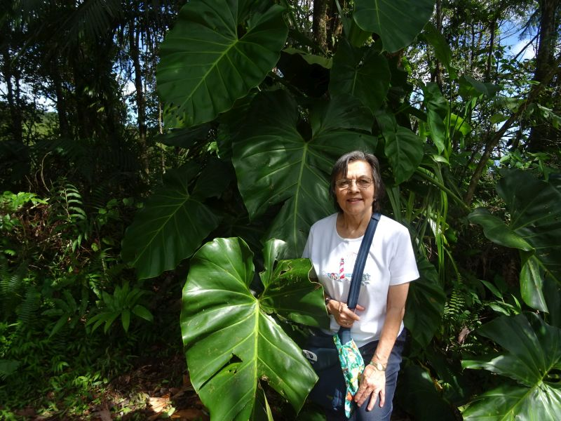 115 Guadaloupe - Enormous Elephant Ear Plants